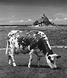 home_cow-nb