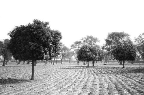 parc-forestier-karite-et-faidherbia-albida-au-mali1